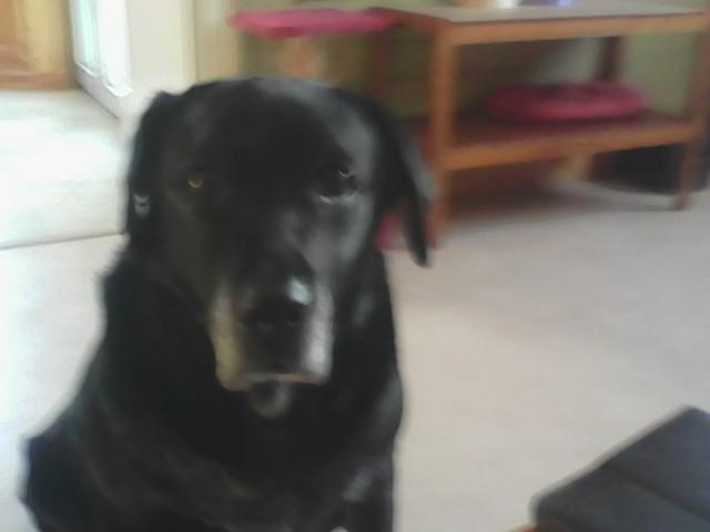 Nirvana, chien Labrador Retriever