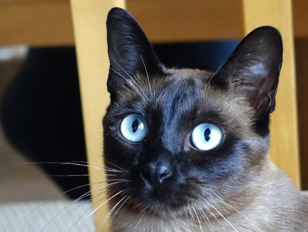 Noki, chat Tonkinois