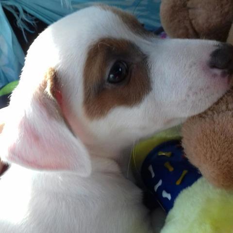 Nola, chiot Jack Russell Terrier