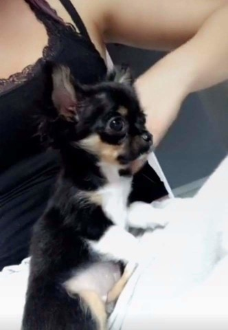 Noli, chiot Chihuahua