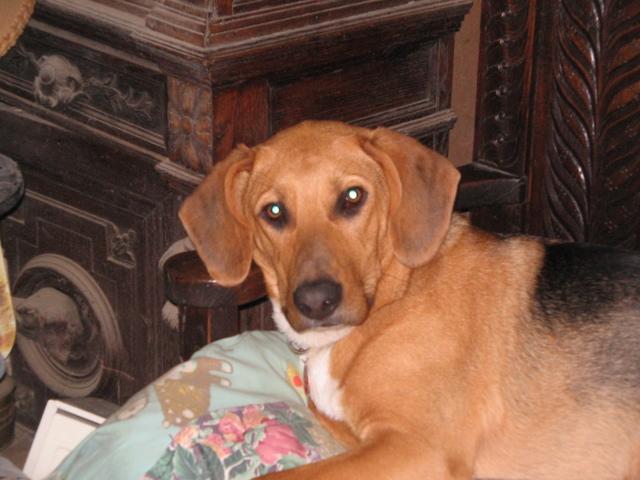 Norbert Le Chien, chien Basset artésien normand