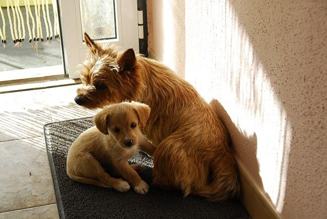 Miles, chien Norfolk Terrier et Norwich Terrier