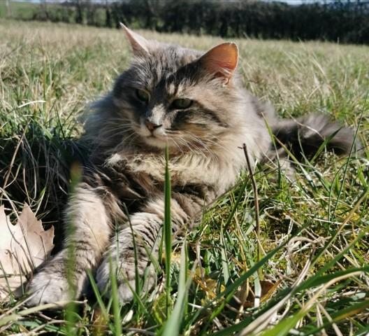 Chatouille, chat Norvégien