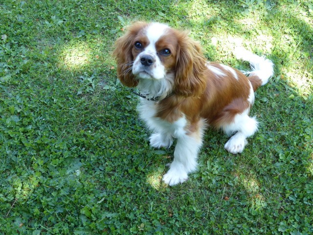 Nougat, chien Cavalier King Charles Spaniel
