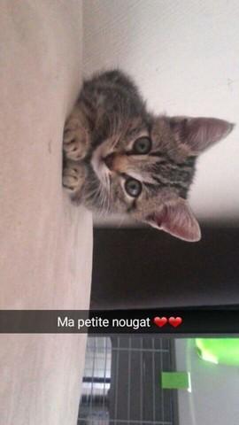 Nougat, chaton Européen