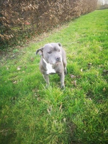 Nougat, chiot Staffordshire Bull Terrier