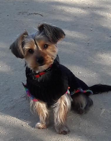 Noumba, chiot Yorkshire Terrier