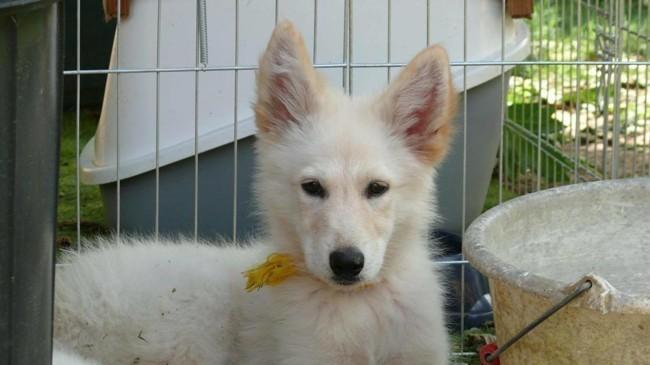 Nova, chiot Husky sibérien