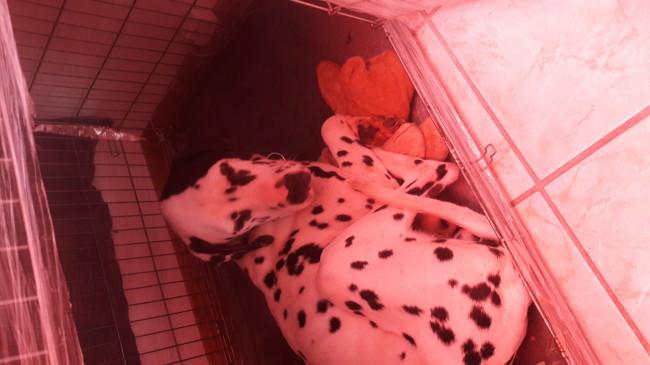 Oddy, chien Dalmatien