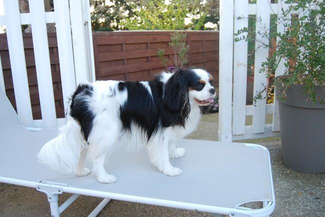 Odin, chien Cavalier King Charles Spaniel