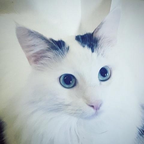 Olaf, chat Européen