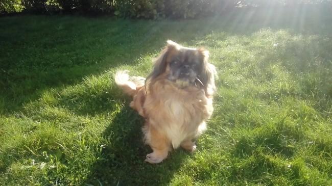 Olga, chien Pékinois
