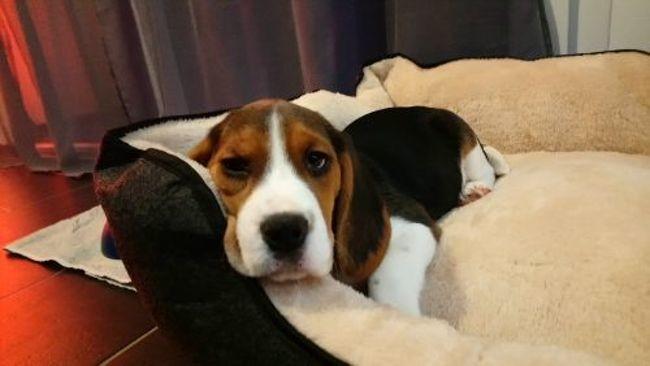 Olia, chiot Beagle