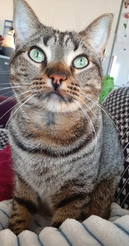 Oliver, chat Européen