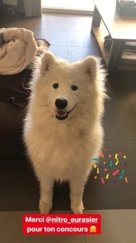 Ollie, chien Samoyède