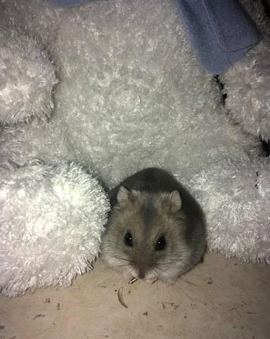 Olympe, rongeur Hamster