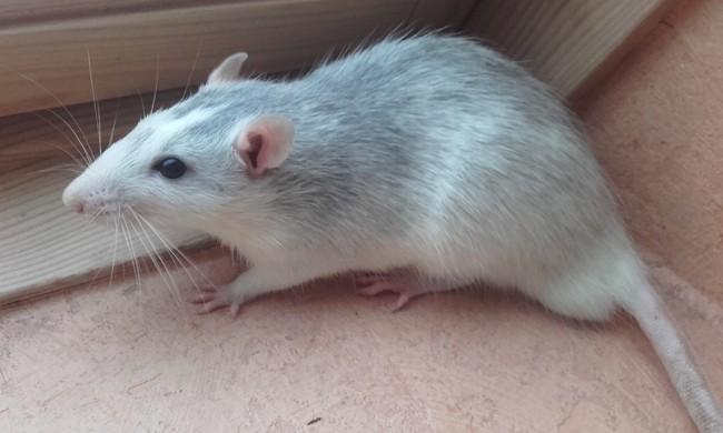 Oméga, rongeur Rat