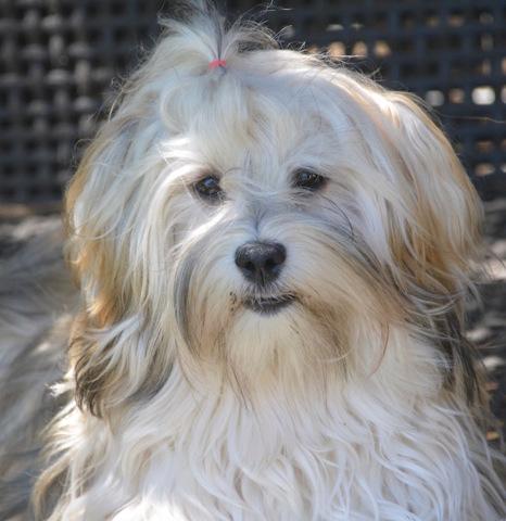 Ondine, chien Bichon havanais