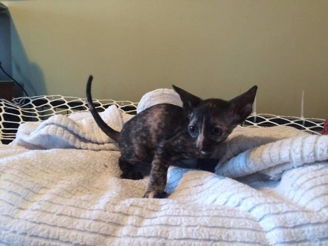 Onyx, chaton Cornish Rex
