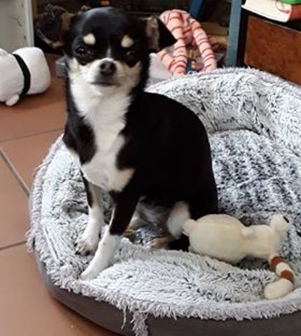 Opale, chiot Chihuahua