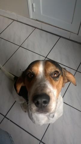 Opie, chien Beagle