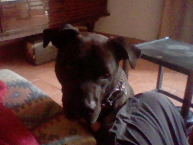 Orion, chien American Staffordshire Terrier