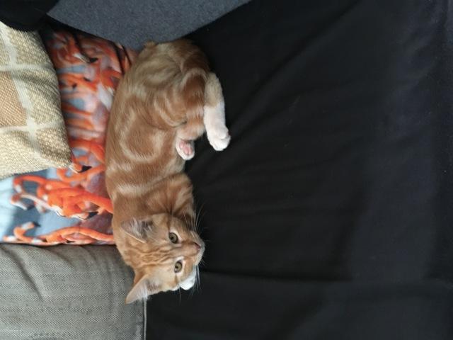 Orion, chat Européen