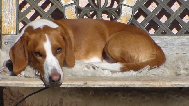 Orkki, chien Drever