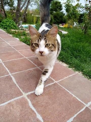 Orsu, chat Européen
