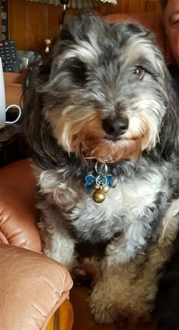 Oscar, chien Terrier tibétain