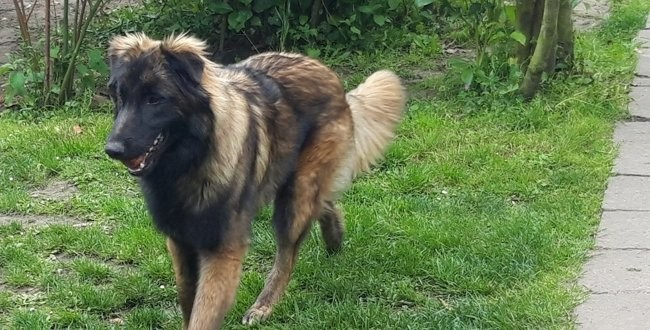 Oscar, chien Berger belge