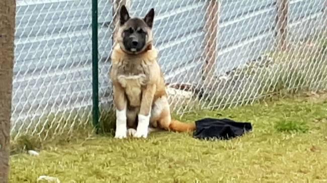 Oumak, chien Akita américain