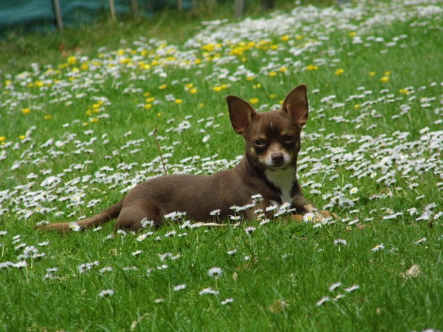 Overwinning Ostral Bambi, chien Chihuahua