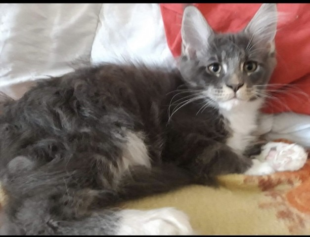 Pacco, Maine Coon