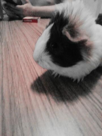 Pacman, rongeur Cochon d'Inde