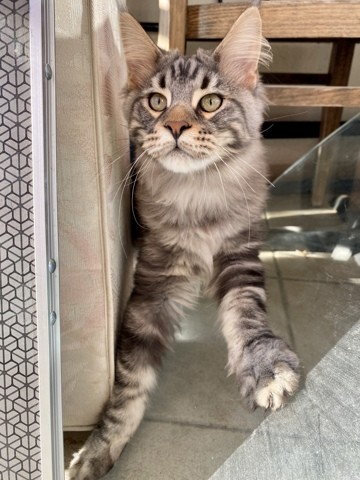 Pandore, chat Maine Coon