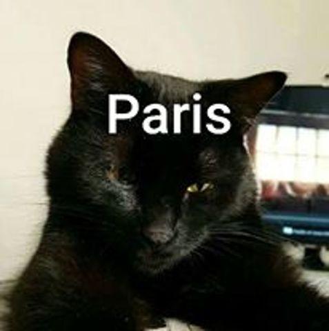 Paris, chat Européen