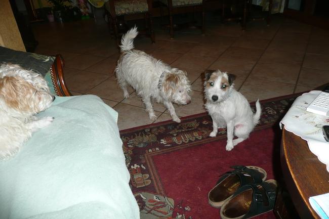 Genny, chien Parson Russell Terrier