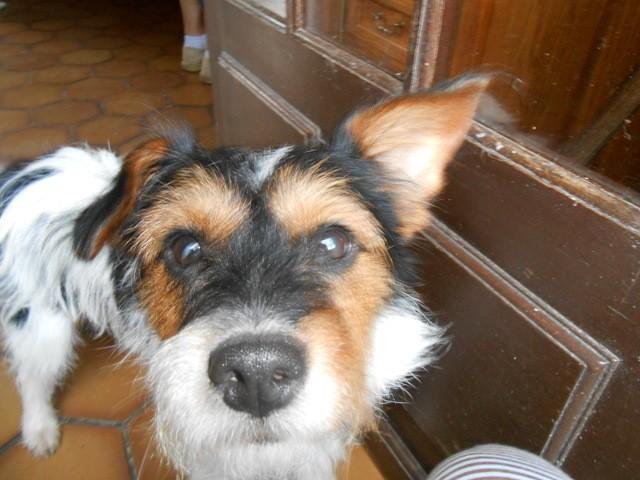 Razia, chien Parson Russell Terrier