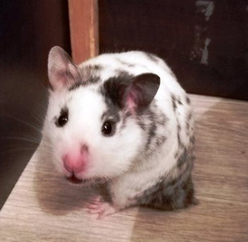 Patch, Hamster