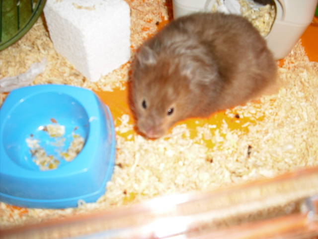 Pattapouff, rongeur Hamster