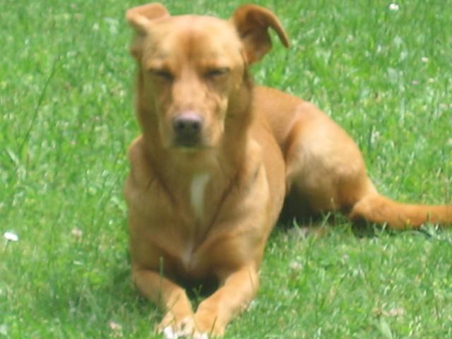 Paty, chien Podenco ibicenco