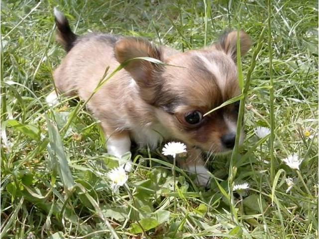Paul, chiot Chihuahua
