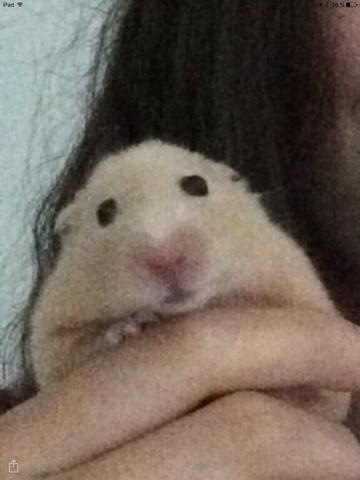Paul, rongeur Hamster