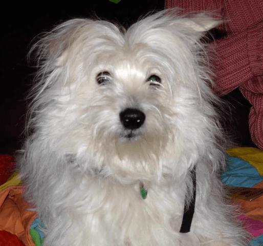Paulina, chien Petit chien courant suisse