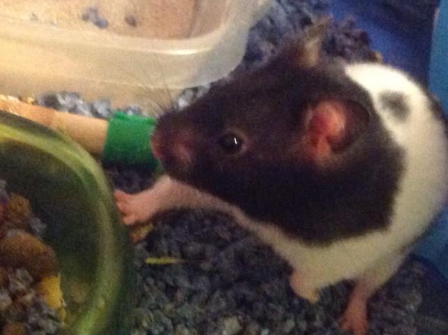 Peanut, rongeur Hamster