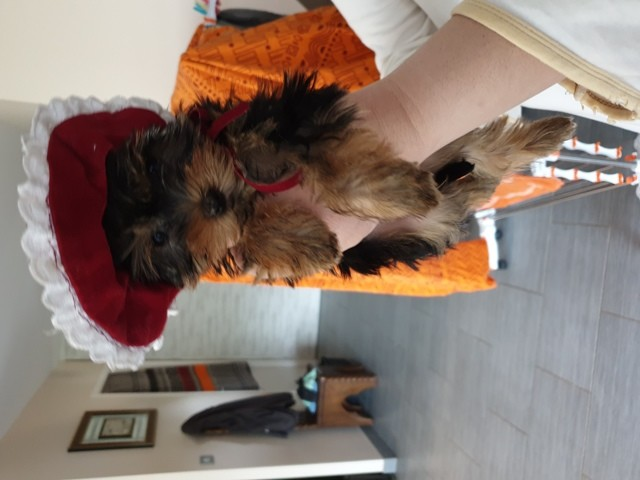 Peggy, Yorkshire Terrier