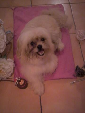 Isidor, chien Pékinois