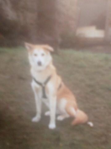 Pépette, chien Husky sibérien