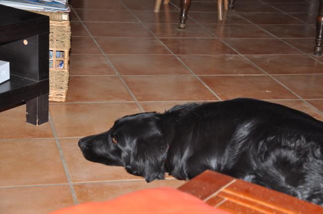 Peps, chien Border Collie